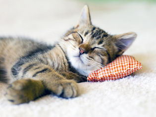 chat qui fait la sieste