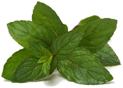 cultiver les plantes aromatiques
