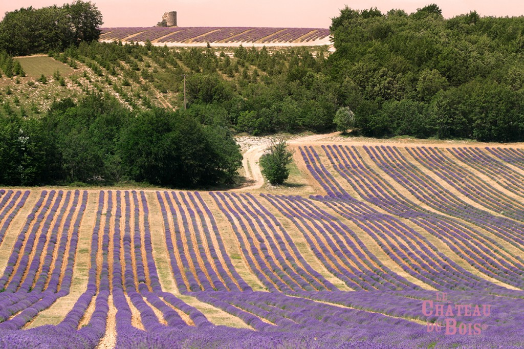 musee-de-la-lavande-champs-lavande-fleurs21