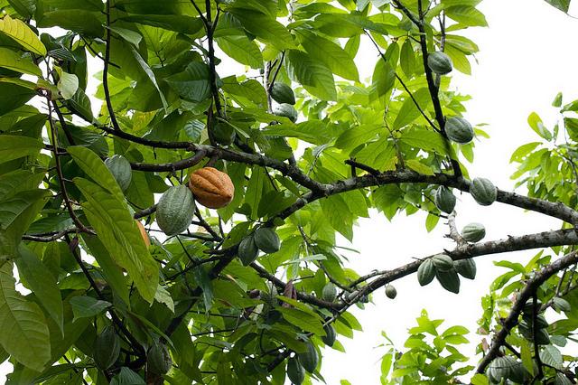 plante de cacao