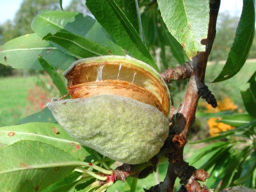 amande fruit sur l'arbre
