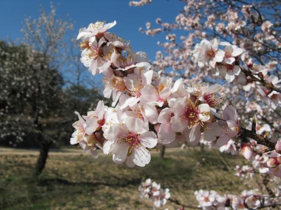 med-fleurs-d-amandier-visoflora-24561