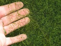 algue  klamath