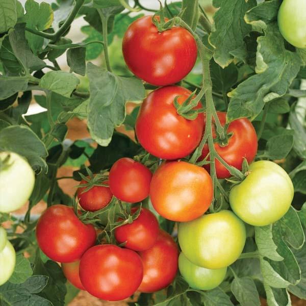 VETOM19147-tomate-moneymaker-25051-1