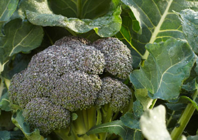 brocoli_anti_cancer