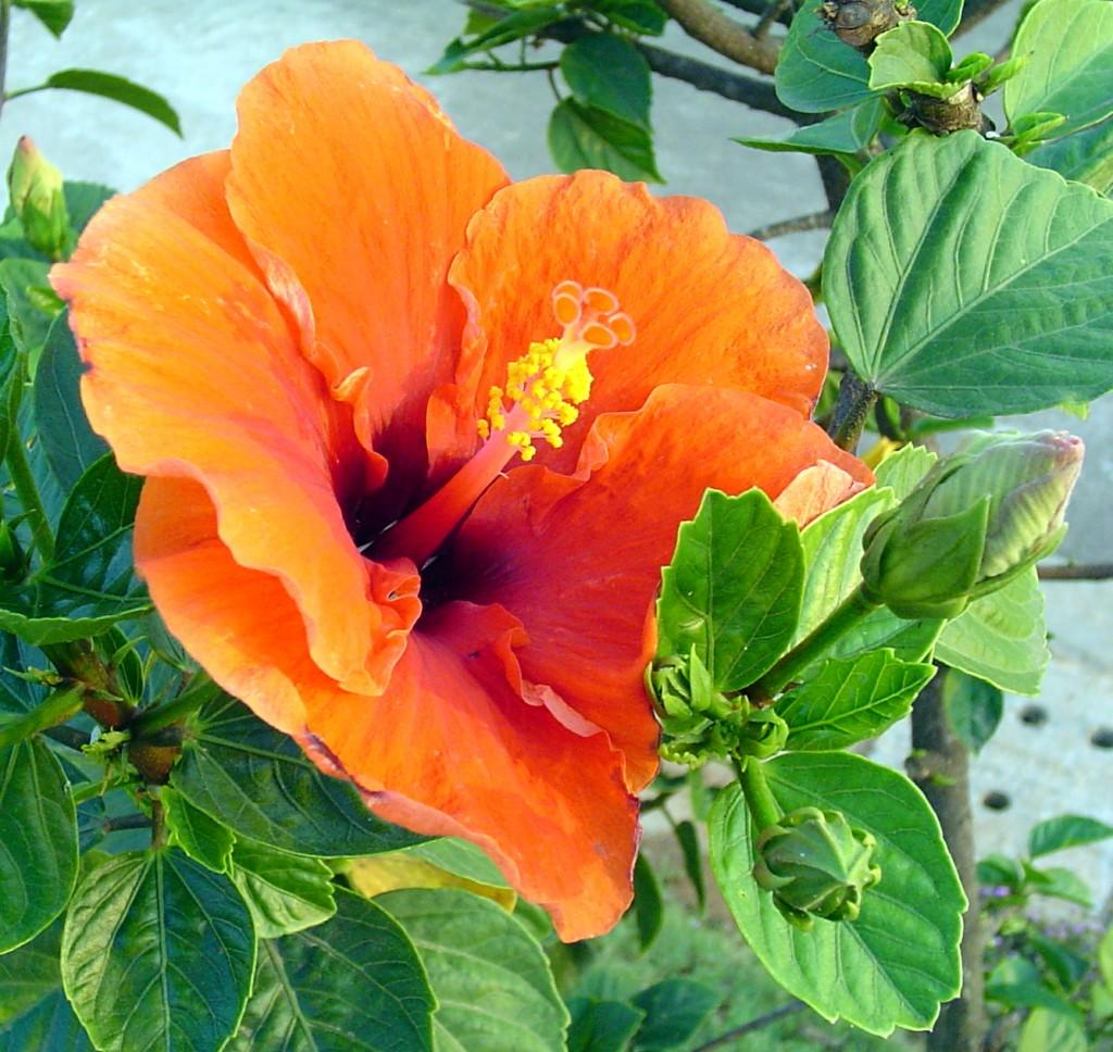 Hibiscus_india
