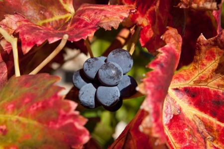 vigne-rouge-bio-