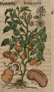 Origine de la tomate2