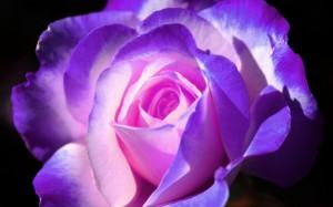 450167__ღbeautiful-purple-glowing-rose-for_p