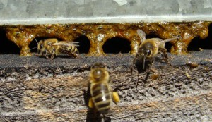 abeille-propolis utilisation