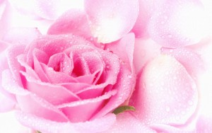 Cute-Pink-Roses-Wallpapers