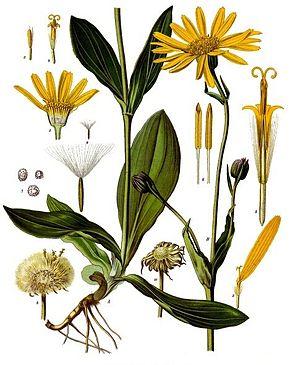 arnica plante