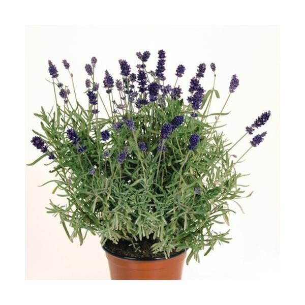 lavandula-angustifolia-officinalis-espigol