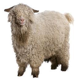 chèvre angora 2
