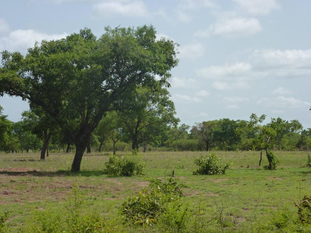 arbre-à-karité-1024x768