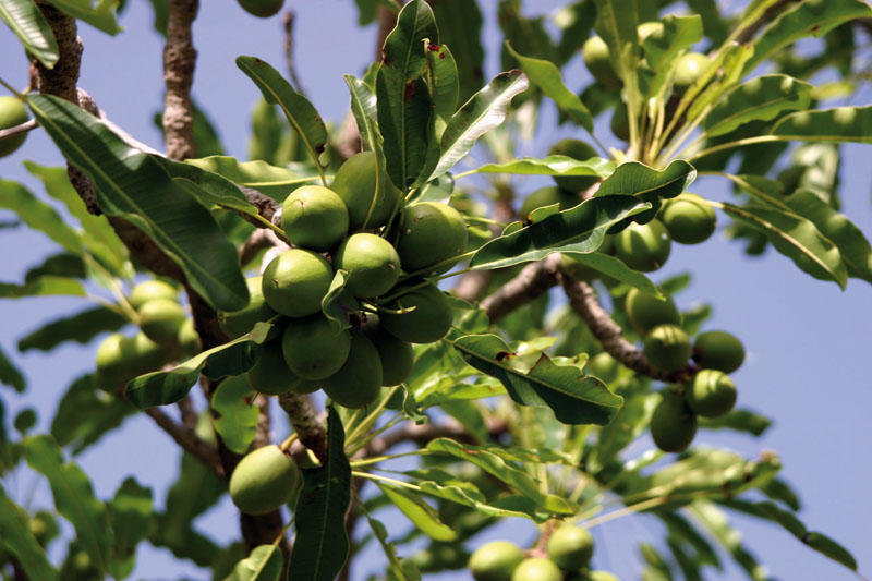 karité fruit