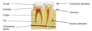 anatomie-de-la-dent