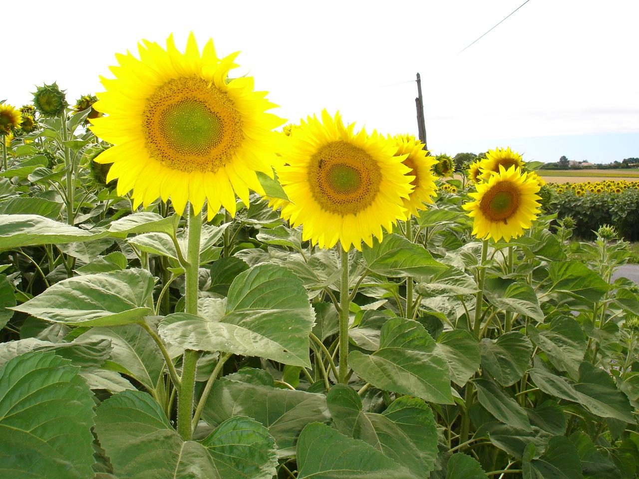 Quand Faut Il Semer Les Tournesols l'huile de tournesol et ses bienfaits - bien-être au naturel